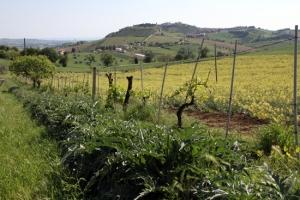 Artichoke field Montelupone