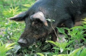 Mora Romagnola pig