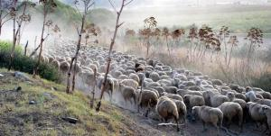 transhumance sheep