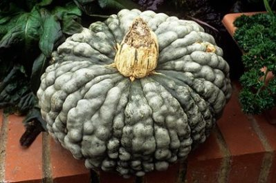 chioggia-sea-pumpkin